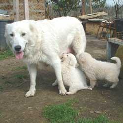 Cuccioli maremmano in regalo lazio